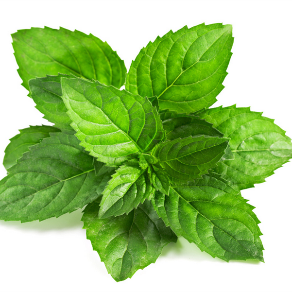 Peppermint oil supplier